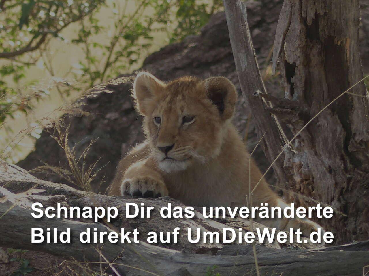 Treffen Sie einzelne Pumas
