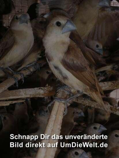 Indonesischer Singvogel