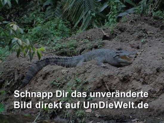 das einzige Krokodil im Park