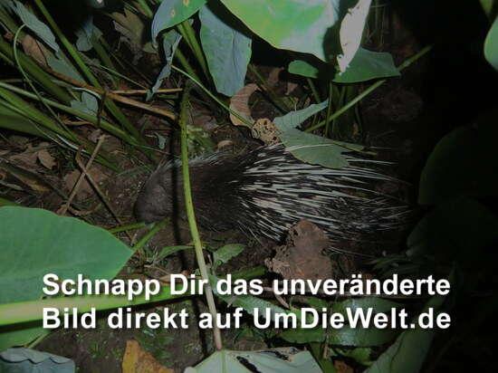ein Stachelschwein im Unterholz