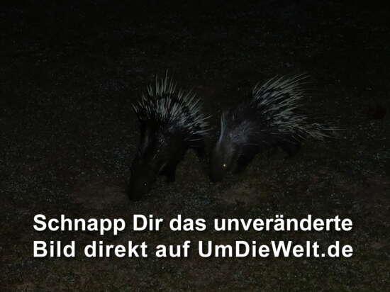 zwei Stachelschweine in der Nacht