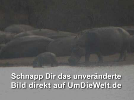 Nilpferdfamilie am Pool
