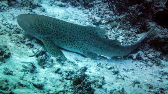 Leopard Shark - German Channel