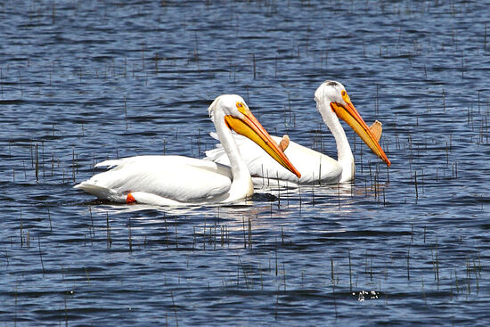 Dixon Lanier Merritt (1879-1972) war ein amerikanischer Poet und Humorist. Er wurde weltweit bekannt durch seinen Limerick über den Pelikan.  A wonderful bird is the Pelican. His beak can hold more than his belly can. He can hold in his beak Food enough for a week! But I'm damned if I see how the helican?