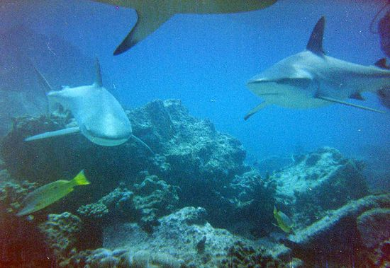 Great Barrier Reef Haie